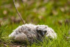 极大的有角的猫头鹰之子 库存照片