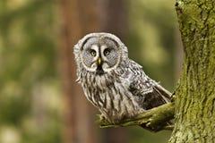 极大的灰色拉普兰nebulosa猫头鹰猫头鹰类 免版税库存照片