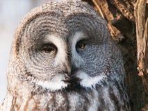 极大的灰色nebulosa猫头鹰猫头鹰类 免版税库存图片