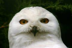 极大的猫头鹰雪 免版税库存照片