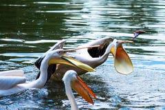 极大的白色鹈鹕在水中 库存图片
