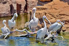 极大的白色鹈鹕 免版税图库摄影