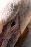 极大的白色鹈鹕 免版税库存图片
