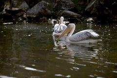 极大的白色鹈鹕 库存照片