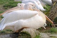 极大的白色鹈鹕 库存图片