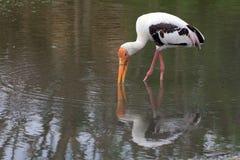 极大的白色鹈鹕(Pelecanus onocrotalus) 免版税库存图片