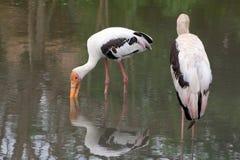 极大的白色鹈鹕(Pelecanus onocrotalus) 免版税库存照片