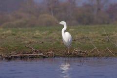 极大的白鹭在他的自然环境里 库存图片