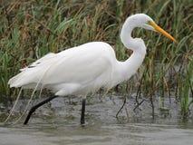 极大的白鹭在南得克萨斯 免版税库存图片