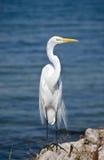 极大的白鹭,佛罗里达 库存照片