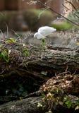 极大的白鹭 库存照片