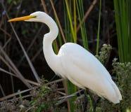 极大的空白白鹭在佛罗里达沼泽地公园 免版税库存照片