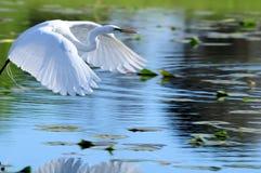 极大的空白白鹭在飞行中在水 免版税库存照片