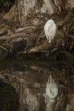 极大的空白白鹭 免版税库存照片