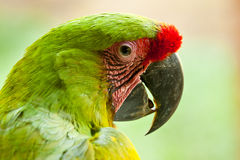 极大的绿色金刚鹦鹉 免版税图库摄影