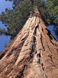 极大的美国加州红杉树 免版税库存照片