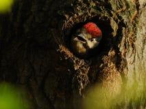 极大的被察觉的啄木鸟年轻人 免版税图库摄影