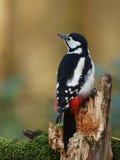 极大的被察觉的啄木鸟 库存照片