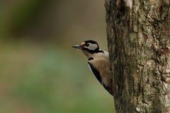 极大的被察觉的啄木鸟 库存图片