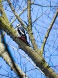极大的被察觉的啄木鸟 免版税库存图片