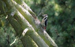 极大的被察觉的啄木鸟 图库摄影