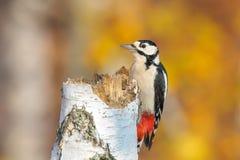 极大的被察觉的啄木鸟 免版税库存照片