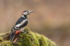 极大的被察觉的啄木鸟 免版税图库摄影