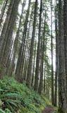 极大的针叶树向上舒展覆盖黎明天空 免版税库存照片