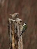 极大的麻雀山雀结构树 免版税图库摄影