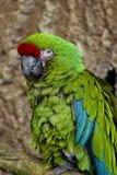 极大的绿色金刚鹦鹉 免版税库存图片