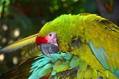 极大的绿色金刚鹦鹉 图库摄影