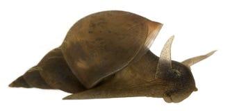 极大的lymnaea池塘蜗牛stagnalis 库存照片