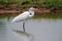 极大鸟的白鹭 免版税库存照片