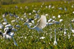 极大2白鹭的飞行 免版税库存图片