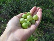 极少数在妇女的现有量的绿色鹅莓 库存照片