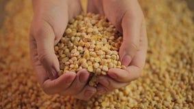 极少数干豌豆特写镜头,提供有机食品产品的农夫为买家 影视素材