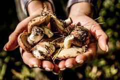 极少数新近地被采摘的蘑菇 秋天收获 库存照片