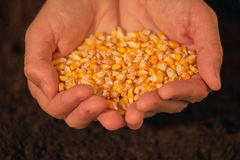 极少数被收获的玉米种子 库存图片