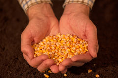 极少数被收获的玉米种子 图库摄影