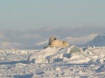 极性北极熊的国王 免版税库存图片