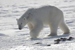 极性北极熊的国王 免版税库存照片