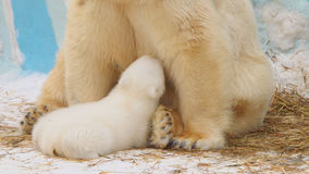 极性她熊在动物园里坐并且喂养她的崽 免版税图库摄影