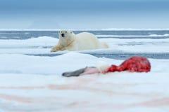 极性涉及冰 在雪的危险北极熊与封印尸体 野生生物从北极自然的行动场面 血腥的场面与 免版税库存照片