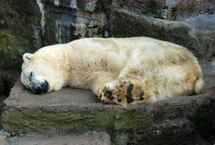 极性熊深刻的梦想 库存照片
