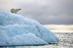 极性熊的冰山 库存图片