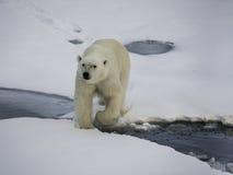 极性熊的冰 库存图片