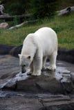 极性熊的捕鱼 库存照片