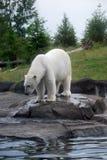 极性熊的捕鱼 免版税库存照片