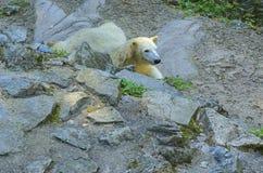 极性熊的看起来 地理范围:在极地周围的北极的冰川覆盖的水和他们的范围中被限制  免版税库存照片