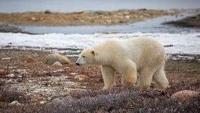 极性熊的看起来 免版税图库摄影